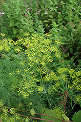 Dill (Anethum graveolens) at Cole's Florist & Garden Centre