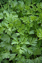 Italian Parsley (Petroselinum crispum 'var. neapolitanum') at Cole's Florist & Garden Centre