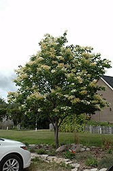 Japanese Tree Lilac (Syringa reticulata) at Cole's Florist & Garden Centre