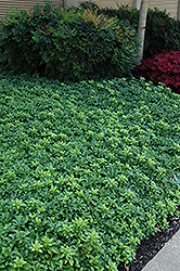 Green Sheen Japanese Spurge (Pachysandra terminalis 'Green Sheen') at Cole's Florist & Garden Centre