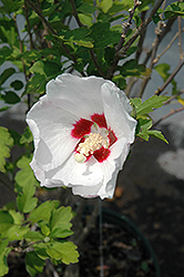 Red Heart Rose Of Sharon (Hibiscus syriacus 'Red Heart') at Cole's Florist & Garden Centre