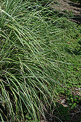 Little Zebra Dwarf Maiden Grass (Miscanthus sinensis 'Little Zebra') at Cole's Florist & Garden Centre