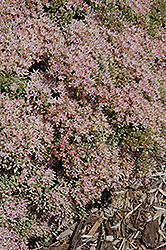 Rock 'N Grow® Pure Joy Stonecrop (Sedum 'Pure Joy') at Cole's Florist & Garden Centre