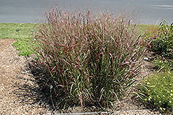 Prairie Fire Red Switch Grass (Panicum virgatum 'Prairie Fire') at Cole's Florist & Garden Centre