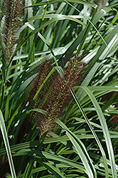Red Head Fountain Grass (Pennisetum alopecuroides 'Red Head') at Cole's Florist & Garden Centre