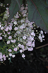 My Pink Baby's Breath (Gypsophila paniculata 'DANGYP39') at Cole's Florist & Garden Centre