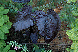 Royal Hawaiian® Black Coral Elephant Ear (Colocasia esculenta 'Black Coral') at Cole's Florist & Garden Centre