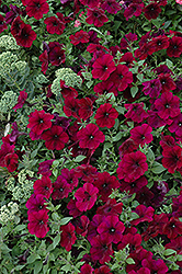 Easy Wave Burgundy Velour Petunia (Petunia 'Easy Wave Burgundy Velour') at Cole's Florist & Garden Centre