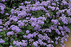 High Tide Blue Flossflower (Ageratum 'High Tide Blue') at Cole's Florist & Garden Centre