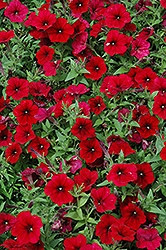 Easy Wave Red Velour Petunia (Petunia 'Easy Wave Pink Passion') at Cole's Florist & Garden Centre