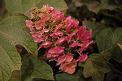 Ruby Slippers Hydrangea (Hydrangea quercifolia 'Ruby Slippers') at Cole's Florist & Garden Centre