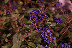 Lo And Behold® Blue Chip Junior Dwarf Butterfly Bush (Buddleia 'Lo And Behold Blue Chip Junior') at Cole's Florist & Garden Centre
