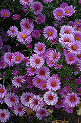 Purple Dome Aster (Aster novae-angliae 'Purple Dome') at Cole's Florist & Garden Centre