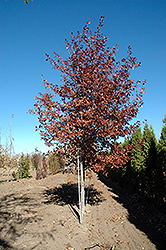 Shooting Star Northern Pin Oak (Quercus ellipsoidalis 'Shooting Star') at Cole's Florist & Garden Centre