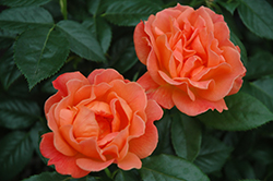 Livin' Easy™ Rose (Rosa 'HARwelcome') at Cole's Florist & Garden Centre