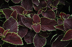 Premium Sun Chocolate Mint Coleus (Solenostemon scutellarioides 'Chocolate Mint') at Cole's Florist & Garden Centre