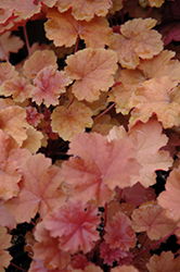 Christa Coral Bells (Heuchera 'Christa') at Cole's Florist & Garden Centre