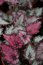 Jurassic Pink Shades Begonia (Begonia 'Jurassic Pink Shades') at Cole's Florist & Garden Centre