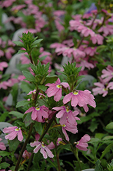 Pink Wonder Fan Flower (Scaevola aemula 'Pink Wonder') at Cole's Florist & Garden Centre
