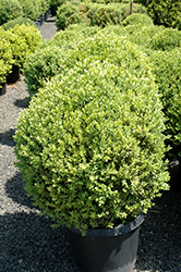 Green Mountain Boxwood (globe form) (Buxus 'Green Mountain (globe)') at Cole's Florist & Garden Centre