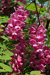 Purple Robe Locust (Robinia pseudoacacia 'Purple Robe') at Cole's Florist & Garden Centre
