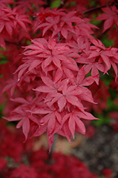 Twombly's Red Sentinel Japanese Maple (Acer palmatum 'Twombly's Red Sentinel') at Cole's Florist & Garden Centre