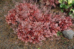 Peach Crisp Coral Bells (Heuchera 'Peach Crisp') at Cole's Florist & Garden Centre