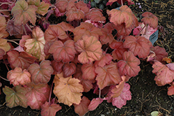 Southern Comfort Coral Bells (Heuchera 'Southern Comfort') at Cole's Florist & Garden Centre