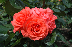 Marmalade Skies Rose (Rosa 'Marmalade Skies') at Cole's Florist & Garden Centre