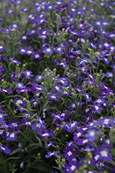 Hot® Blue With Eye Lobelia (Lobelia 'Hot Blue With Eye') at Cole's Florist & Garden Centre