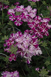 Lanai® Purple Star Verbena (Verbena 'Lanai Purple Star') at Cole's Florist & Garden Centre