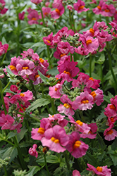 Sunsatia Raspberry Nemesia (Nemesia 'Sunsatia Raspberry') at Cole's Florist & Garden Centre