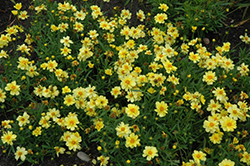 Galaxy Tickseed (Coreopsis 'Galaxy') at Cole's Florist & Garden Centre