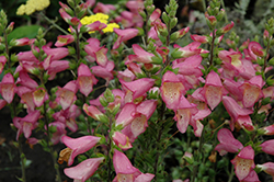 Berry Canary Foxglove (Digiplexis 'Berry Canary') at Cole's Florist & Garden Centre
