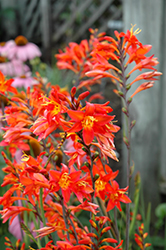 Prince Of Orange Crocosmia (Crocosmia 'Prince Of Orange') at Cole's Florist & Garden Centre