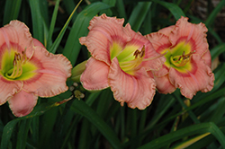 Elegant Candy Daylily (Hemerocallis 'Elegant Candy') at Cole's Florist & Garden Centre