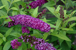 Crown Jewels Butterfly Bush (Buddleia 'Crown Jewels') at Cole's Florist & Garden Centre