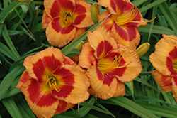 Bold Tiger Daylily (Hemerocallis 'Bold Tiger') at Cole's Florist & Garden Centre
