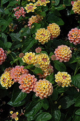 Evita Orange Lantana (Lantana 'Evita Orange') at Cole's Florist & Garden Centre