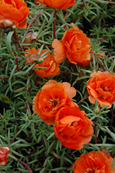 Sundial Orange Portulaca (Portulaca grandiflora 'Sundial Orange') at Cole's Florist & Garden Centre