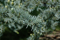 Blue Atlas Cedar (Cedrus atlantica 'Glauca') at Cole's Florist & Garden Centre