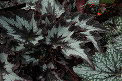 Jurassic Silver Point Begonia (Begonia 'Jurassic Silver Point') at Cole's Florist & Garden Centre