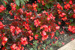 BabyWing® Red Begonia (Begonia 'BabyWing Red') at Cole's Florist & Garden Centre