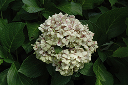 Wedding Ring Hydrangea (Hydrangea macrophylla 'Fanfare') at Cole's Florist & Garden Centre