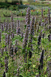 Black Adder Hyssop (Agastache 'Black Adder') at Cole's Florist & Garden Centre