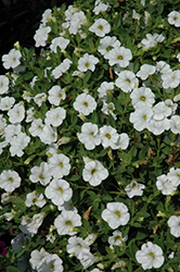 Kabloom™ White Calibrachoa (Calibrachoa 'Kabloom White') at Cole's Florist & Garden Centre