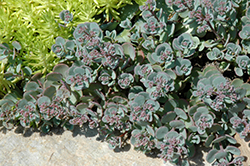 Cola Cola Stonecrop (Sedum cauticola 'Cola Cola') at Cole's Florist & Garden Centre