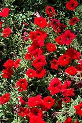Trilogy Red Petunia (Petunia 'Trilogy Red') at Cole's Florist & Garden Centre