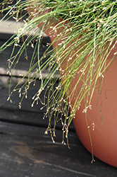 Live Wire Fiber Optic Grass (Isolepis cernua 'Live Wire') at Cole's Florist & Garden Centre