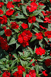 Divine™ Scarlet Red New Guinea Impatiens (Impatiens hawkeri 'Divine Scarlet Red') at Cole's Florist & Garden Centre